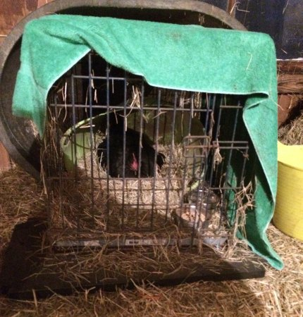 broody hen in dog crate