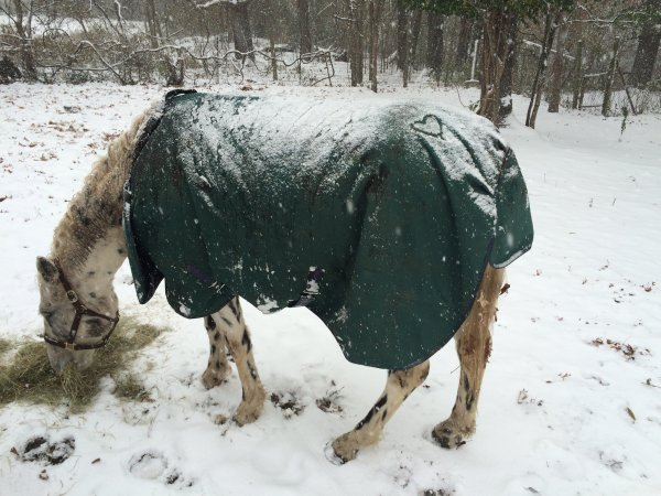 leopard appaloosa in snow with heart on rear