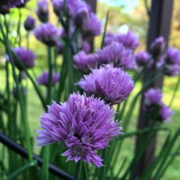 A chive blossom is both edible and a lovely study, placed in a bud vase.
