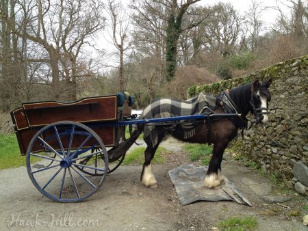An Irish Draft Horse and traditional cart waiting to carry guests to Muckross Castle - Kitchy AND delightful.