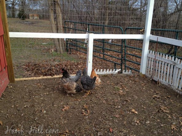 Bare chicken run in winter