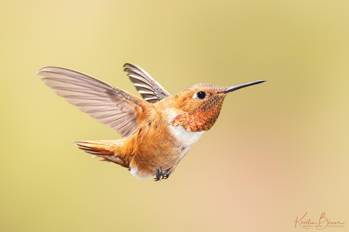 20180721-_85K9338-Male-Rufous-Hummingbird