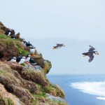 Puffin on a grassy cliff, sea as background, Iceland** Note: Visible grain at 100%, best at smaller sizes