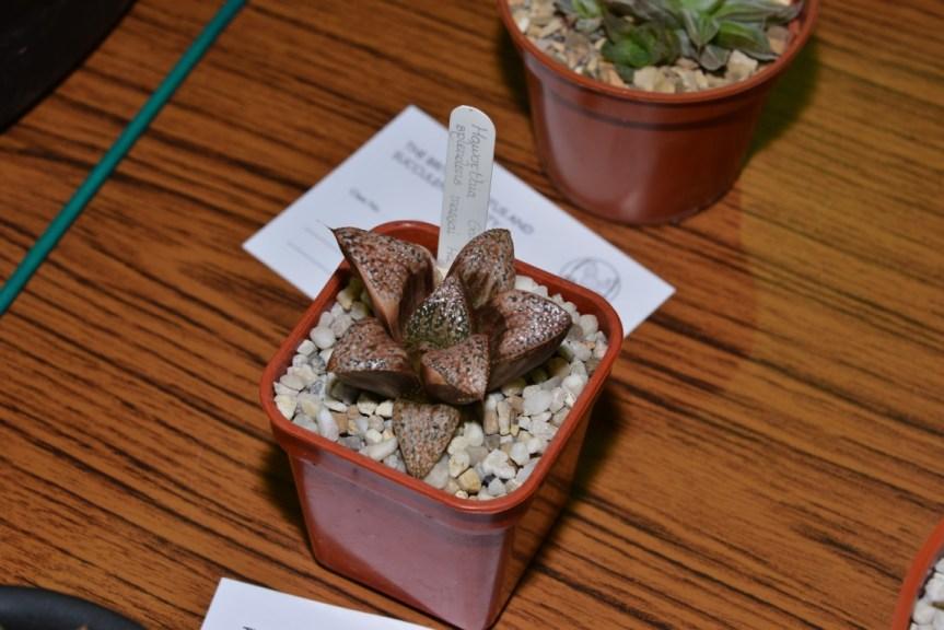 Class 93 - Haworthia splendens (variegated plant)