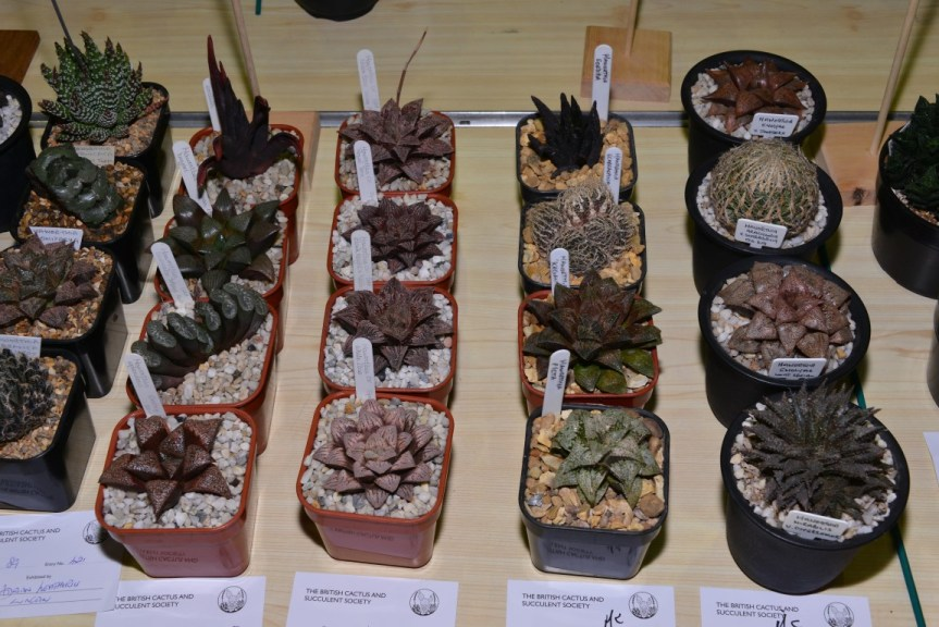 Class 89 - Haworthia emelyae hybrids (three from left) - Alan Rollason AoM