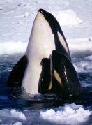 לוויתני אורקה - אם וגור