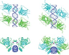 צברים של ארבע מולקולות p53 על אתרי מטרה מהסוג הצמוד (משמאל) ומהסוג המופרד (מימין). די-אן-איי צבוע בכחול, זוגות p53 בצבעי תכלת וירוק, יוני אבץ בסגול