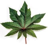 עלה צמח הקיקיון - ישמש ליצור דלק ביולוגי. צילום: תמר הירדני. מקור: ויקיפדיה.