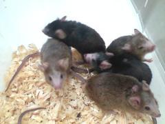 """עכברי מעבדה הסובלים מתסמונת פגיעה בחומר הלבן במוח. צילום. יובל קבילי, אוניברסיטת ת""""א"""
