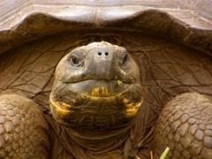צבי גלפגוס הם צבי היבשה הגדולים ביותר בעולם. למעשה, האיים קרויים על שם הצבים, אשר שריונם הזכיר לימאים הספרדים צורה של אוכף בשם גלפגו.צילום: אמיר גור (c)