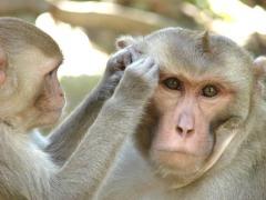 קופי רזוס. מגלים גמישות בבחירת החברים שלהם. צילום: אוניברסיטת ייל