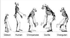שלדים של קופי אדם. מתוך ויקיפדיה