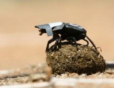 """חיפושית זבל שעיניה מכוסות, בניסוי שנועד לבדוק שימוש שעושות החיפושיות באורו של שביל החלב להתמצאות. צילום: פרופ' מרקוס ביירן מאוניברסיטת ויטס בדרא""""פ"""