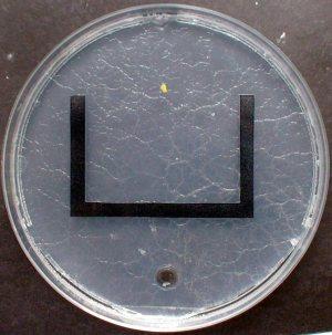 רירית (כתם צהוב) בצד אחד של צלחת פטרי מכוסה בריר, כשבצד הנגדי תמיסת סוכר (עיגול שקוף) ומפריד ביניהם מכשול בצורת האות U. צילום: Courtesy of Chris R. Reid
