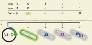 בתמונה:  שער לוגי מסוג NOR. במידה ושני גורמי השיעתוק אינם נמצאים בתא, ההתקן מגיב ביצירת אור ירוק. איור: מכון ויצמן