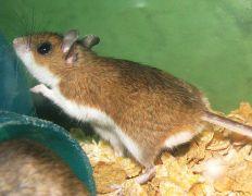 עכבר הצבי (Deer mouse). מתוך ויקיפדיה