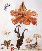 אחד מהאיורים הרבים שציירה מריה סיבילה מריאן. מתוך ויקיפדיה