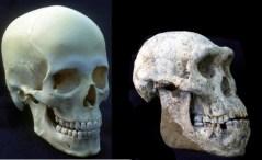 """הומו גיאורגוס - פרט שהתפצל מהומו ארקטוס ואשר התגלה בגיאורגיה ב-2013. בתגלית שותף פרופ' יואל רק מאוניברסיטת ת""""א. צילום: אוניברסיטת ת""""א"""