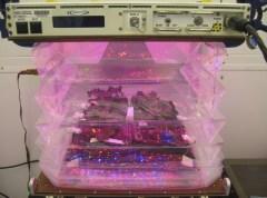 """צמחי חסה רומית אדומה גדלים בתוך אב טיפוס של כר לגידול ירקות במשימת חלל. המתקן ישוגר בתוך חללית האספקה השלישית מדגם דראגון של חברת ספייס איקס, היום, 14 באפריל מכף קנוורל. צילום: נאס""""א/בריאן אונטה"""