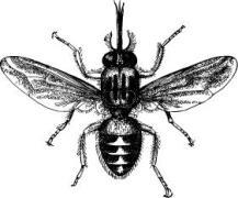 http://www.shutterstock.com/pic-96854119/stock-vector-tsetse-fly-or-tik-tik-fly-glossina-morsitans-vintage-illustration-from-meyers-konversations.html?src=46XVS3nfE9Vk8IITrrUOXw-1-0