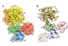 באמצעות קריסטלוגרפיה בקרני-רנטגן, חוקרים מאוניברסיטת סנט לואיס פרסמו את התמונה הראשונה אי-פעם של החלבון החשוב לקרישת דם המכונה פרו-תרומבין (גורם קרישה II). מבנהו הגמיש של החלבון מהווה רכיב מפתח בהתפתחות של קרישת דם. [באדיבות אוניברסיטת סנט לואיס].