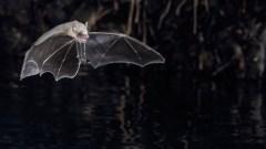 עטלף במעופו. צילום: JENS RYDELL