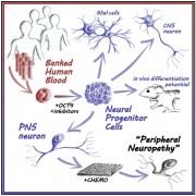 הפיכת תאי דם לתאי עצב. איור: Jong-Hee Lee ועמיתיו, כתב העת CELL