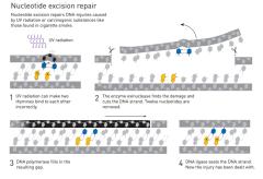 תהליך התיקון באמצעות כריתת נוקלאוטיד שזיכה את מגליו בפרס נובל לכימיה לשנת 2015. מתוך אתר פרס נובל