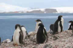 פינגווינים באנטארקטיקה. צילום: Tak, Flickr