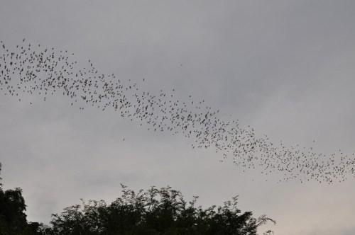 להקת עטלפים משחרת למזון. צילום: shankar s., Flickr
