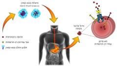 תרופה ננומטרית לסרטן - איור המתאר את מבנה מערכת ההובלה ואת פעילותה בגידול. איור: מאיה בר זאב, הטכניון
