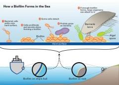 כך נוצר ביופילם על דופן של ספינות. איור: Woode Hole Oceanographic institution