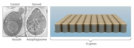 איור 2: בשמרים (משמאל) רכיב גדול המכונה חלולית התואמת את הליזוזום בתאי יונקים.אושומי ייצר שמרים חסרי חלוליות (באמצע). הניסוי שלו הוכיח כי אוטופגיה קיימת בשמרים. בצעד הבא חקר אושומי אלף מוטציות שמרים (מימין) וזיהה 15 גנים החיונים לאוטופגיה.