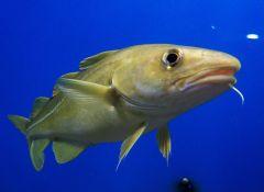 דג בקלה. מתקשרים באמצעות צלילים. תצלום: August Linnman.