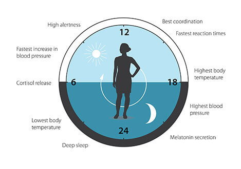 איור 3: השעון הביולוגי שלנו מסייע בוויסות דפוסי שינה, התנהגות ותזונה, שחרור הורמונים, לחץ דם וטמפרטורת הגוף.