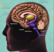 חתך צידי של המוח האנושי, עם ציון של מיקום ההיפוקמפוס. תרשים: National Institute on Aging, National Institutes of Health