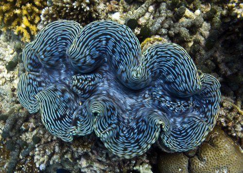 צדפת ענק מהסוג Tridacna gigas, באיים המלדיביים. צילום: Malcolm Browne.