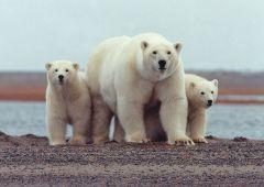 מלבד אספקת המזון שלהם, דובי הקוטב תלויים בקרח הימי להרחבת טווח התנועה שלהם, למציאת בני זוג, ולהנחלת כישורי חיים לדור ההמשך. תצלום: U.S. Fish and Wildlife Service.
