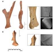 תמונות עצמות צבי חרוצות מתרבות שהתקיימה באיזור לזמן קצר לפני 35 אלף שנה. צילום: האוניברסיטה העברית