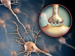 נוירונים מתקשרים זה עם זה. איור: shutterstock