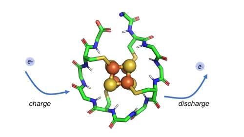 חוקרים תכננו חלבון סינתטי קטן שליבתו מורכבת מאטומי ברזל וגופרית. חלבון זה מסוגל לקבל ולשחרר אלקטרונים באופן מחזורי, מנגנון המאפשר שימוש באלקטרונים אלה בתא לטובת התהליך של חילוף החומרים. [באדיבות: Vikas Nanda/Rutgers University-New Brunswick]