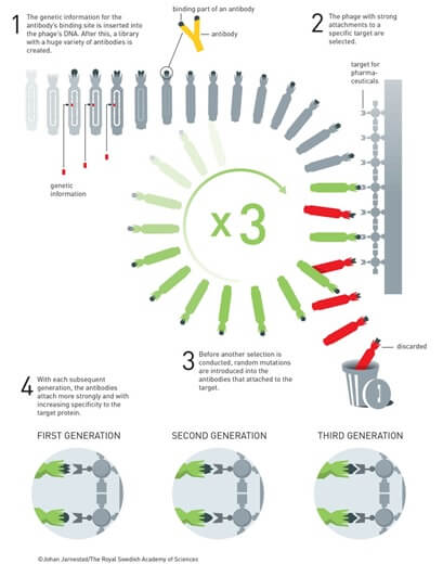 """איור של שיטת ספריית הבקטריופאג'ים: 1. המידע הגנטי המשמש לביטוי אתר הקישור של הנוגדן מוכנס לתוך הדנ""""א של הבקטריופאג'. בשלב הבא מייצרים ספרייה בעלת מגוון נרחב של נוגדנים. 2. מקרב ספריית הבקטריופאג'ים נבחרים אלו בעלי הקישור החזק ביותר למטרה מוגדרת. 3. לפני שמבצעים ברירה נוספת, גורמים להיווצרותם של מוטציות אקראיות באותם נוגדנים הקשורים למטרות. 4. עם כל דור/מחזור נוסף, הנוגדנים הנבחרים נקשרים חזק יותר למטרות החלבון שלהם בזכות בררנות גבוהה יותר. איור: ועדת פרס נובל"""