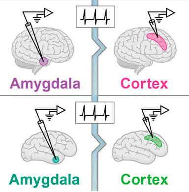 החוקרים גילו כי הקידוד העצבי בקליפת המוח יעיל יותר מאשר באמיגדלה בבני אדם (שורה עליונה) ובקופים (שורה תחתונה). הקידוד העצבי בשני אזורי מוח אלה יעיל יותר בבני אדם, אך חסין פחות בפני שגיאות