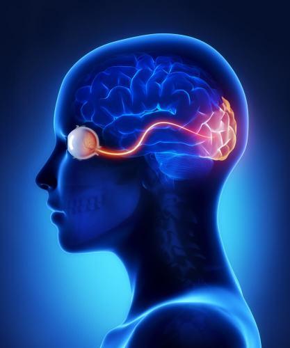 העין ועצבי הראיה בקליפת המוח. איור: shutterstock