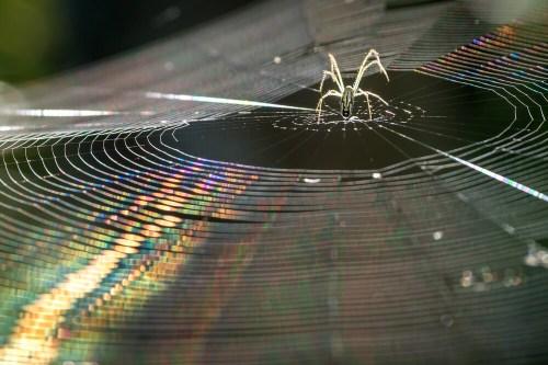 עכביש טווה קורים. צילום: shutterstock