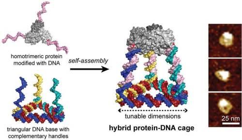 """מערכת חלבון-דנ""""א זו הורכבה על ידי משולש של דנ""""א בעל שלוש זרועות של גדילים משלימים תוך קבלת כלובים טטראהדרלים המורכבים משש דופנות של דנ""""א וחלבון טרימרי [באדיבות: Nicholas Stephanopoulos]"""