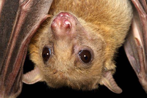 תקריב של עטלף פירות - במחקר חדש הודגם שעטלפים אלה משלבים מידע ראייתי עם מידע סונר בחישת הסביבה (קרדיט: ינס ריידל)