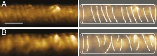 סליל הדינמין בתמונות מיקרוסקופ אלקטרונים. לפני הוספת מולקולות GTP המספקות אנרגיה למערכת, לדינאמין צורה של סליל רגיל (a). לאחר הוספת המולקולות GTP, זווית הנעיצה של חלבון משתנה, והחלבון נוטה ונשבר לחלקים בעלי צורה של סליל נטוי (b). צילום: דוברות הטכניון