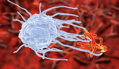 מחלה ממבט ראשון: כשתא של המערכת החיסונית (מקרופאג, בכחול) פוגש חיידק (באדום), יש משמעות מכרעת להתרחשויות ב-48-24 השעות הראשונות