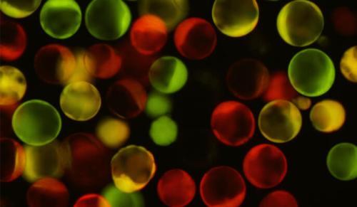 """""""מדווחים"""" באדום ובירוק החושפים תהליכים אפיגנטיים בתאי בלסטוציט. מעבדתו של ד""""ר יונתן שטלצר, מכון ויצמן"""